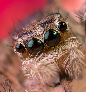 Eyes Jumping Spider
