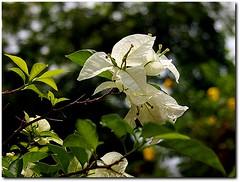 BOUGANVILIA FLOWERS
