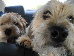 dog breed, animal, dog, schnoodle, pet, australian silky terrier, norfolk terrier, glen of imaal terrier, poodle crossbreed, morkie, catalan sheepdog, sapsali, dandie dinmont terrier, border terrier, lakeland terrier, cairn terrier, australian terrier, carnivoran, terrier,