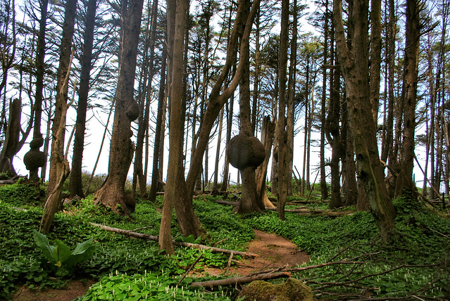 coastal sitka spruce - photo #30