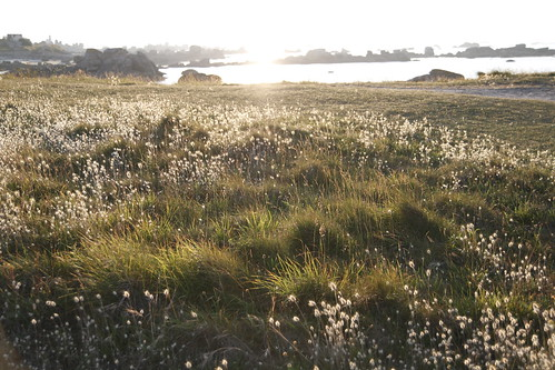 Golden field of Brignogan 4