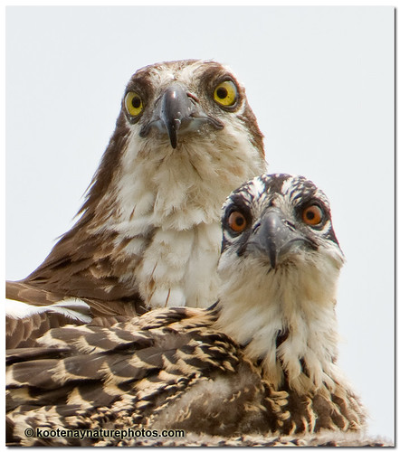 Osprey Parent & Young