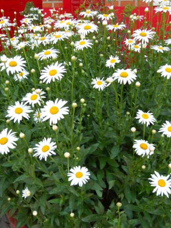 Chrysanthemum frutescens v 1
