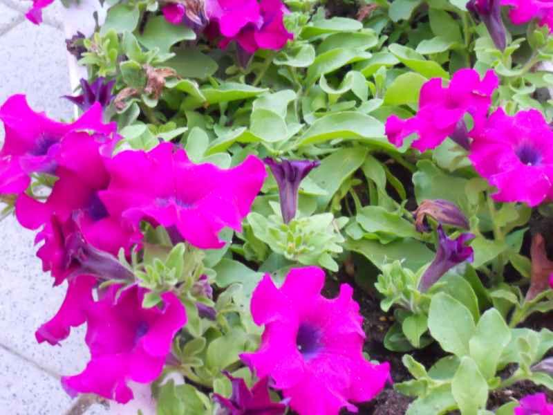 Petunia integrifolia 2