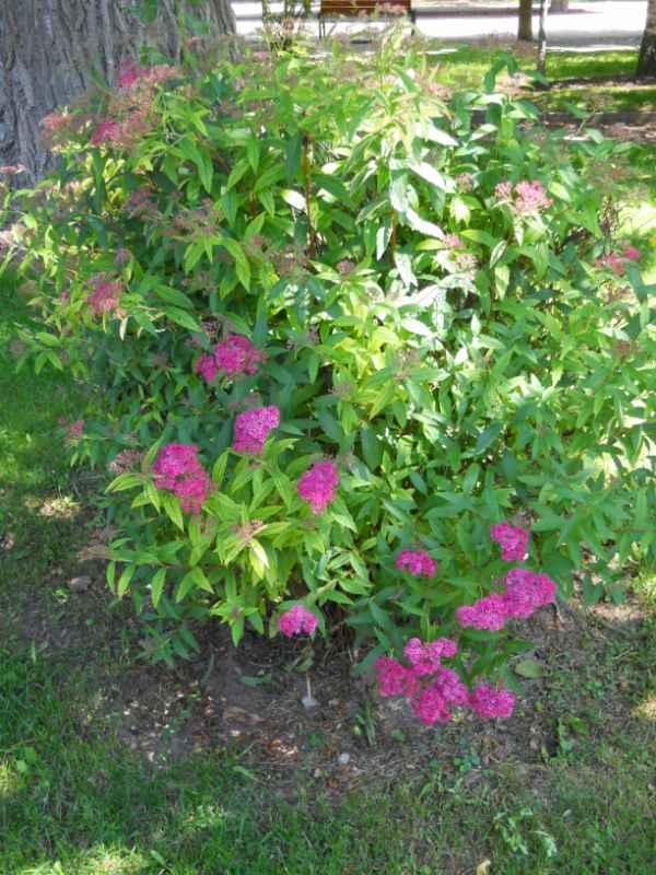 Jardineros en acci n spirea bumalda 39 anthony waterer 39 for Planta decorativa toxica