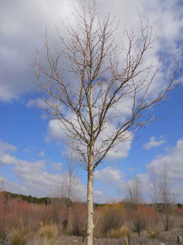 Platanus hispanica invierno v 2
