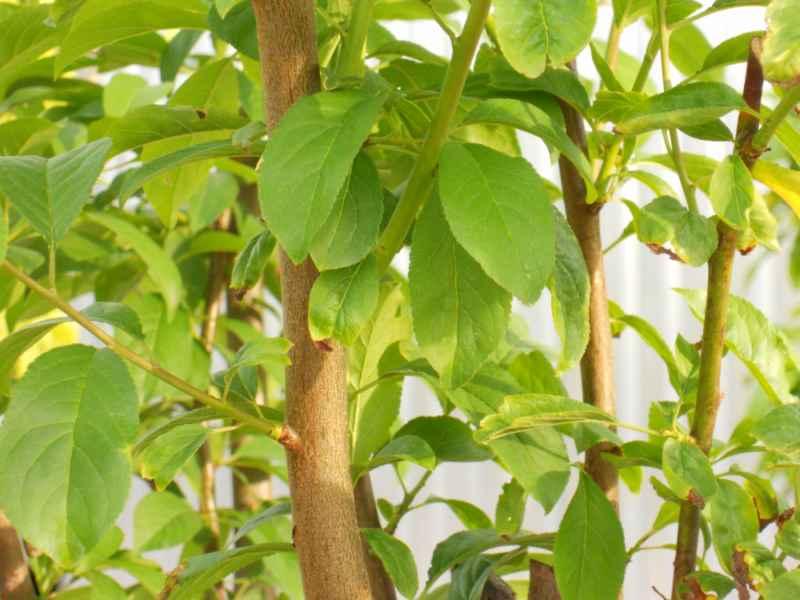 Prunus domestica 'Golden Japan' 1