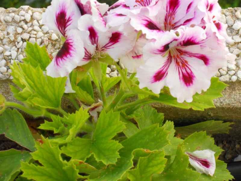 Pelargonium x domesticum 2