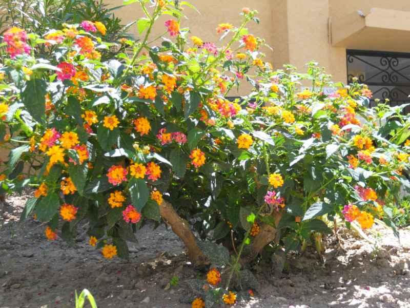 Jardineros en acci n lantana camara 39 confetti 39 Plantas jardin mediterraneo