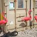 Flamingos in Iraq again