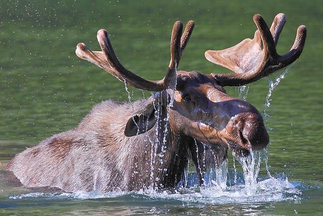 IMG_5010 Bull Moose Surfacing, Glacier National Park