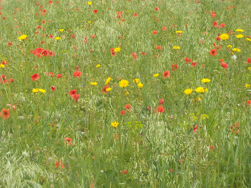 Poppies and sow-thistle