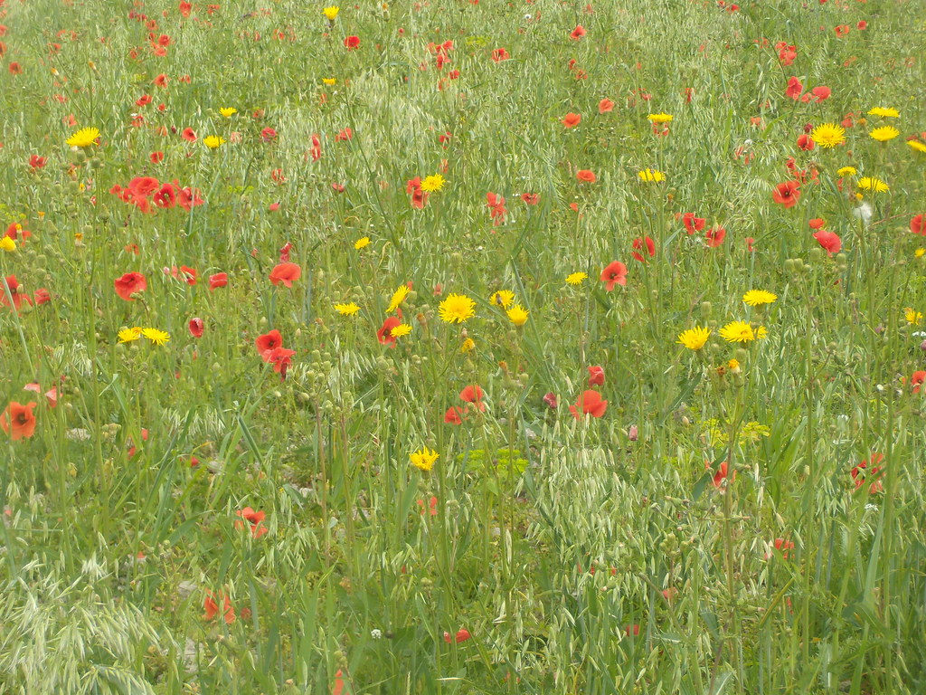 Poppies and sow-thistle Hassocks to Lewes