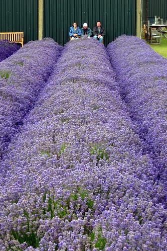 Foxtrot - Snowshill Lavender Farm