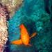 Garibaldi - Catalina Island by DivingCatalina