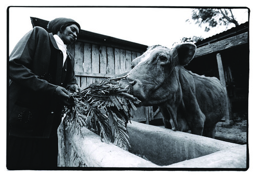 Woman feeding cow In Embu