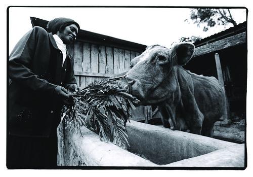 Woman feeding cow In Embu