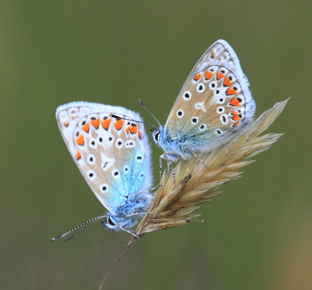 A Pair of Common Blue Butterflies
