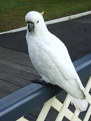 common pet parakeet(0.0), african grey(0.0), cockatoo(1.0), animal(1.0), parrot(1.0), wing(1.0), white(1.0), pet(1.0), sulphur crested cockatoo(1.0), fauna(1.0), cockatiel(1.0), beak(1.0), bird(1.0),