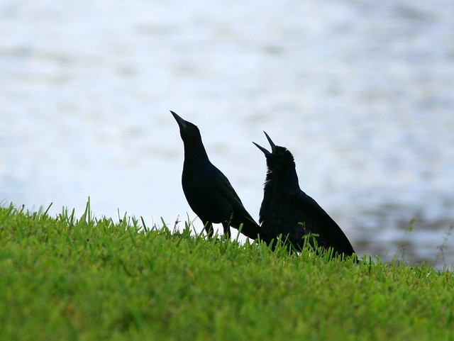 Boat-tailed Grackle Dance1 20100730