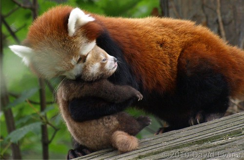 Chester Zoo - Baby Red Panda by Romeoliverpool