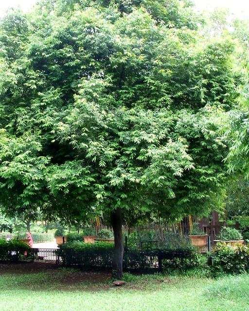 Nagkesar tree_नागकेसर_Mesua ferrea_Clusiaceae_2009 08 09_Rani Bagh_0155