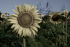 sunflower seed(0.0), thistle(0.0), asterales(1.0), sunflower(1.0), flower(1.0), field(1.0), plant(1.0), nature(1.0), flora(1.0), plant stem(1.0),