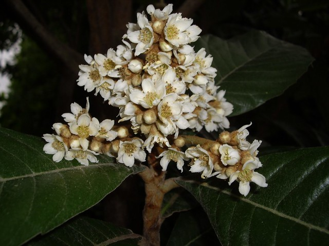 Eriobotrya japonica 02