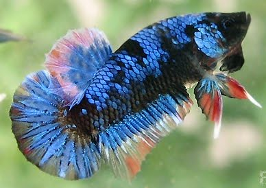 Giant betta fish blue flickr photo sharing for Biggest betta fish