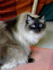 domestic long-haired cat, animal, persian, small to medium-sized cats, pet, ragdoll, cat, carnivoran, whiskers, norwegian forest cat, birman, himalayan,