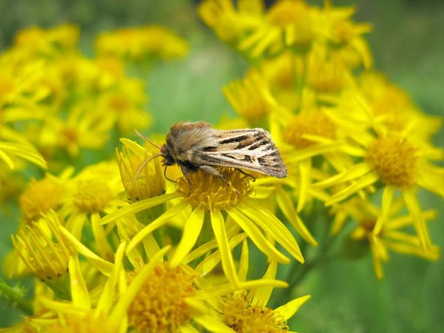 antler moth | Emma Lamb