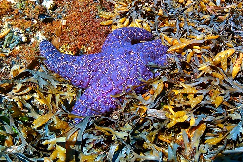 Purple starfish at low tide
