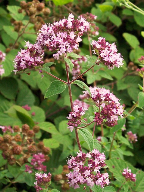 wild marjoram origanum vulgare flickr photo sharing. Black Bedroom Furniture Sets. Home Design Ideas