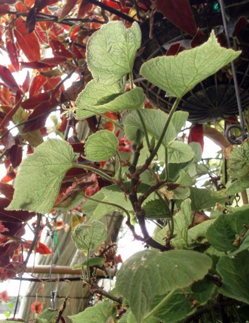 Begonia alice-clarkiae 4903891110_b59c150055_o