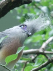 Crested Coua?  Who?