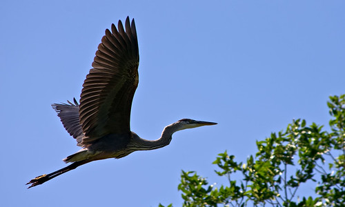 Heron Flying | by DCZwick