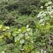 Cheirodendron platyphyllum subsp. platyphyllum