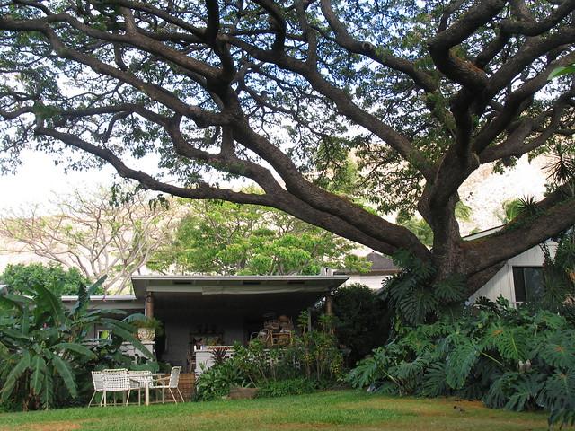 Monkey Pod Tree and Lanai