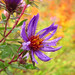 Wild Aster along Bruce Trail by Bobcatnorth