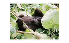 gorillaz, Virunga