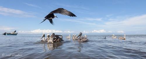 Fisherman: Frigatebird, Cormorant, Pelicans and men.