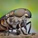 horsefly by epioxi