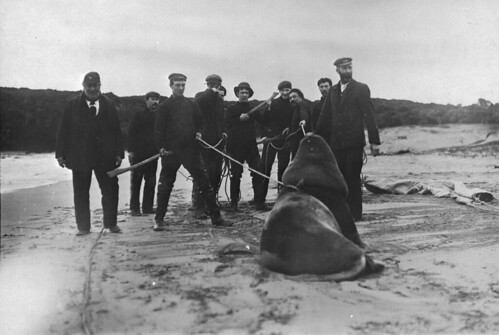 Captain Bollons and crew capturing a sea lion, 1909