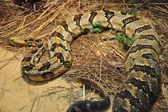 boas(0.0), eastern diamondback rattlesnake(0.0), boa constrictor(0.0), hognose snake(0.0), grass snake(0.0), viper(0.0), garter snake(0.0), lacertidae(0.0), kingsnake(0.0), animal(1.0), serpent(1.0), snake(1.0), reptile(1.0), fauna(1.0), rattlesnake(1.0), sidewinder(1.0), scaled reptile(1.0), wildlife(1.0),