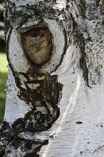 Birch bark 4551