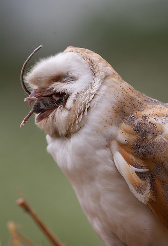 barnowl eating mouse