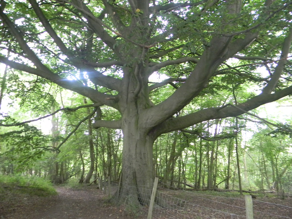 Big tree Knockholt Circular