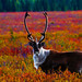 Caribou in Autumn by Silas Fallstich