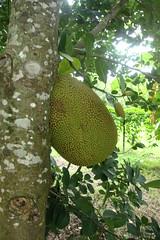 flora, artocarpus, jackfruit,