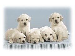 puppy love(0.0), dog breed(1.0), labrador retriever(1.0), nose(1.0), animal(1.0), puppy(1.0), dog(1.0), pet(1.0), mammal(1.0), golden retriever(1.0),